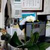 今年の胡蝶蘭