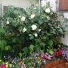 美容室のバラ