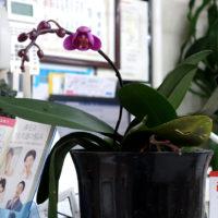 胡蝶蘭が開花
