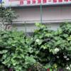 高円寺駅近、美容室のバラ